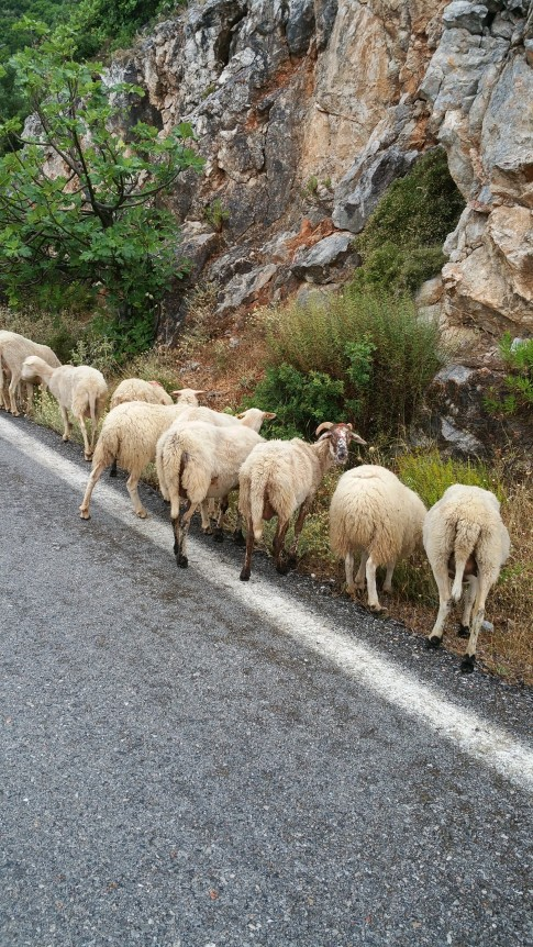 Mountain Goats in Greece