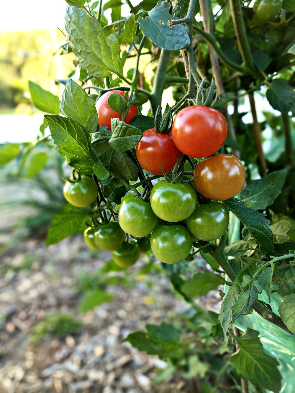 Backyard Garden vegetables are the source of ingredients